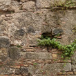 Wall plant growing — Stock Photo #19455229