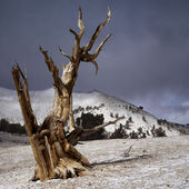 Bristlecone pines — Stock Photo