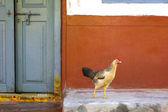 Chicken out front — Stock fotografie