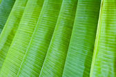 Lined up banana leaves — Stock Photo