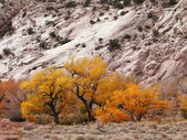Yellow autumn trees from cottonwood canyon utah — Stock Photo