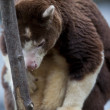 101 tree kangaroo — Stock fotografie