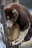 101 tree kangaroo — Stock Photo