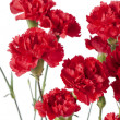 659 red peony flowers — Stock Photo #19845011