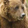 Brown bear close up — Stock Photo #19848997