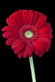 538 red daisy — Stock Photo