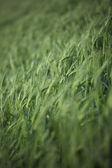 237 obraz pšeničné pole — Stock fotografie