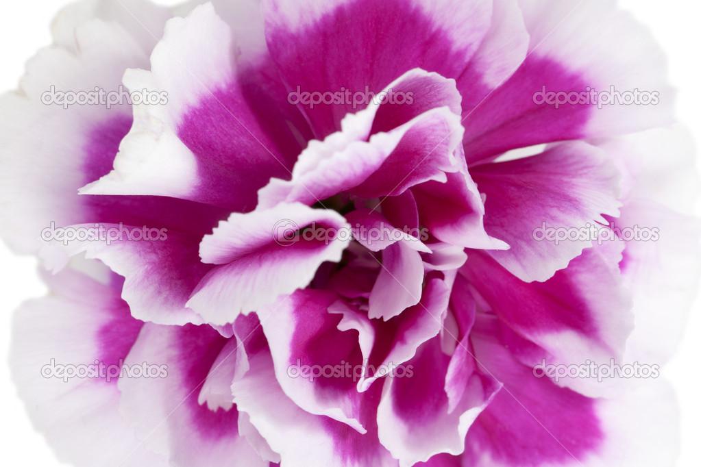 Macro pink flower photography