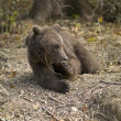 Brown bear — Stock Photo #19854225