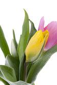 69 różowe i żółte tulipany — Zdjęcie stockowe