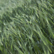 Image of wheat field — Stock Photo #19864483