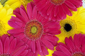728 yellow and pink daisies — Stock Photo