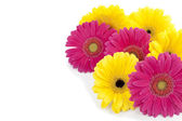 749 pink and yellow daisy flowers — Stock Photo
