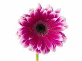 960 pink chrysanthemum — Stock Photo