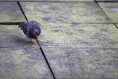 18 pigeon on sidewalk — Stock Photo