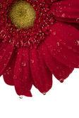 198 red gerbera daisy — Stock Photo
