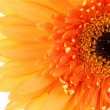 Gerbera daisy flower — Stock Photo