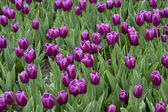 278 Purple Tulip Garden — Stock Photo