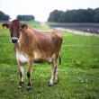 Cow at field — Stock Photo #19957581