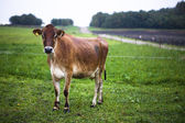 Cow at field — Stock Photo