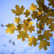 Image of maple leaves — Stock Photo #19960987