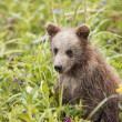 599 brown bear cub - Stock Photo