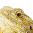 Head shot of a lizard — Stock Photo