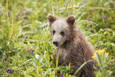 599 brown bear cub — Stock Photo