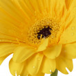 Wet yellow flower - Stock fotografie