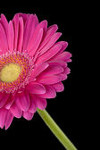 Cropped image of pink daisy — Stock Photo