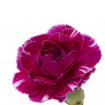 Постер, плакат: Pink carnation flower
