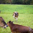 935 cows at field — Stock Photo #20238741