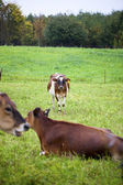 935 cows at field — Stock Photo