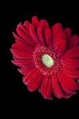 951 red daisy flower — Stock Photo