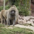 African olive baboon — Stock Photo