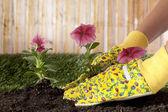 一只手种植开花植物 — 图库照片