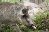 African warthog — Stock Photo