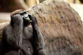 Ape watching — Foto Stock