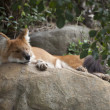Asian red wolf — Foto Stock