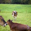 935 cows at field — Stock Photo #22134483