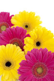 A pile of a colorful flower head of daisies — Stock Photo
