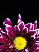 A pink chrysanthemum — Stock Photo