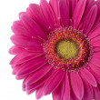 A pink gerbera flower — Stock Photo
