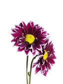 A pink chrysanthemum flower — Stock Photo