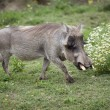 Stock Photo: Active warthog