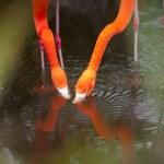 Adorable pair of flamingo — Stock Photo #23933131