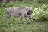 Active warthog — Stock Photo