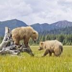 Постер, плакат: Alaskan bears
