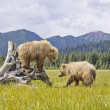 Stock Photo: Alaskbears