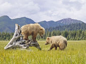 аляскинский медведи — Стоковое фото